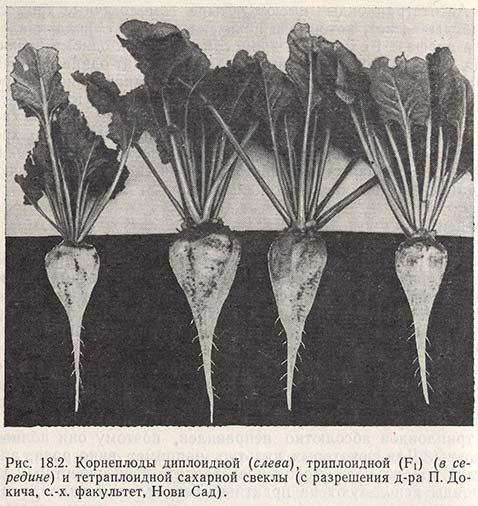 Корнеплоды диплоидной, триплоидной и тетраплоидной сахарной свеклы