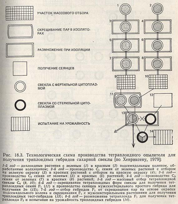 Технологическая схема производства тетраплоидного опылителя для получения триплоидных гибридов сахарной свеклы