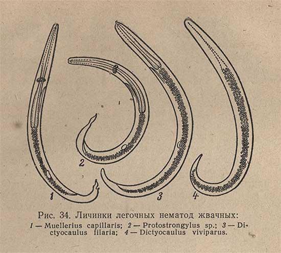 Личинки легочных нематод жвачных