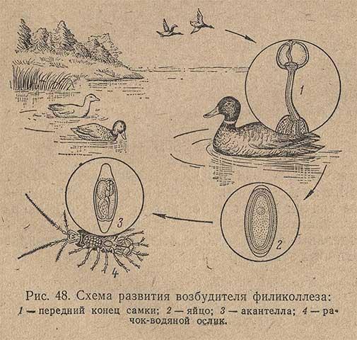 Схема развития возбудителя филиколлеза