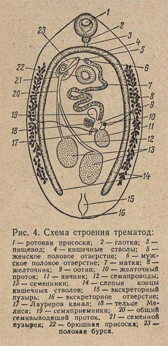 Схема строения трематод