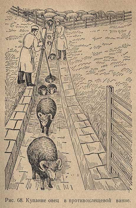 Купание овец в противоклещевой ванне