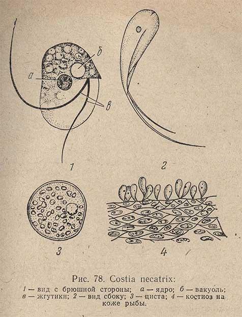 Costia necatrix